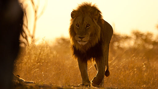 wpid-512px-Earth-Touch_Lion_Botswana.jpg